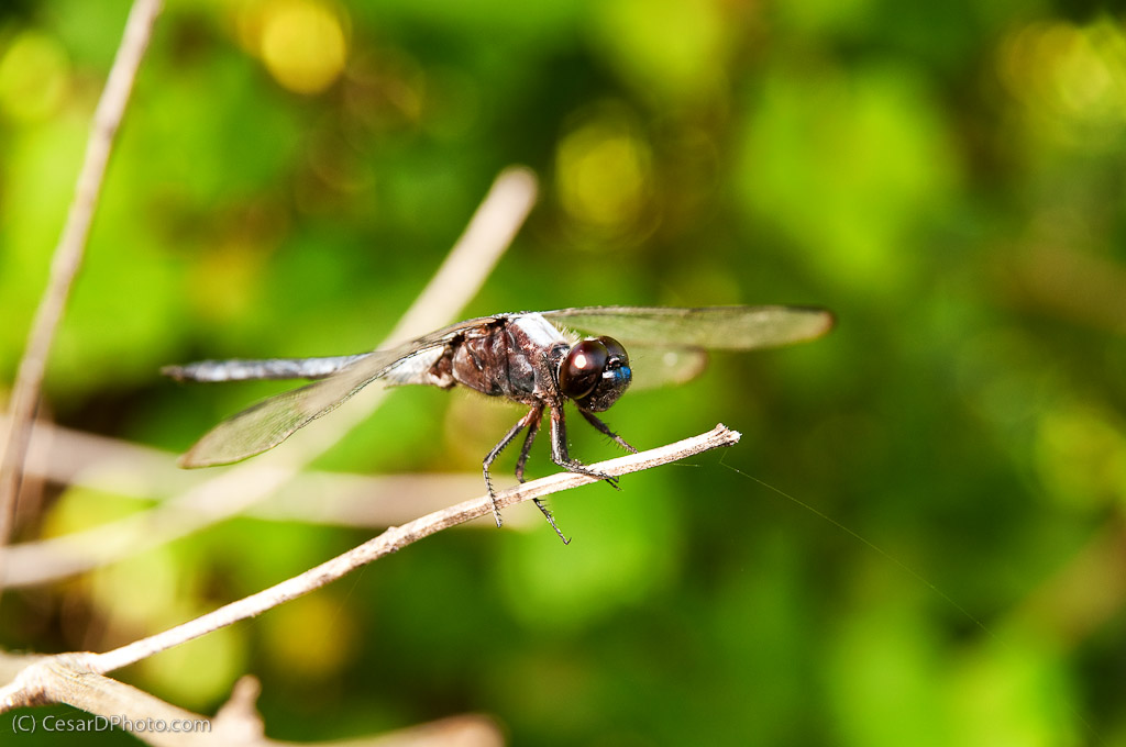 Dragonfly Side View