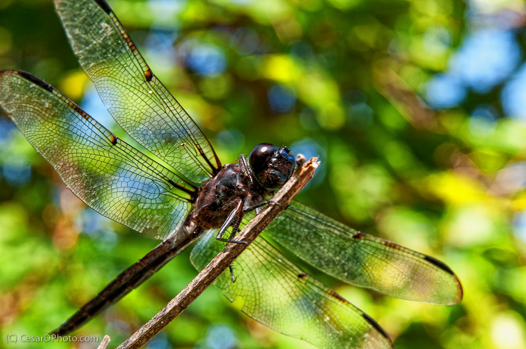 Dragonfly Ready to Fly